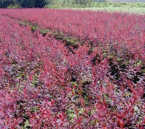 红叶小檗 红叶小檗(波)价格 供应红叶小檗(波)销售红叶小檗苗木 绿化苗木