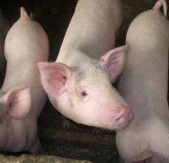 安徽生猪养殖基地供应三元猪 长白猪 土杂猪6一斤