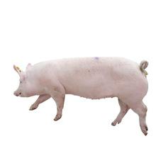厂家长期供应优质长白猪