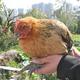 厂家直销   散养土鸡 天然有机食品