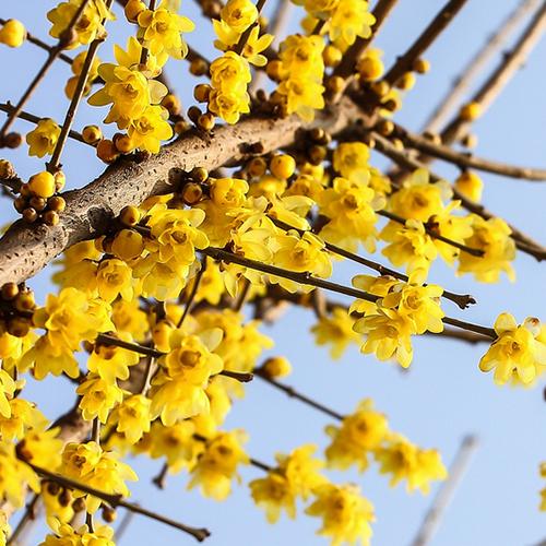 腊梅出售信息_腊梅供应_销售腊梅苗腊梅基地 专业供应商-中国花卉产业网