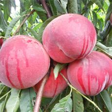 新乡市种植生产销售甜甜的桃子