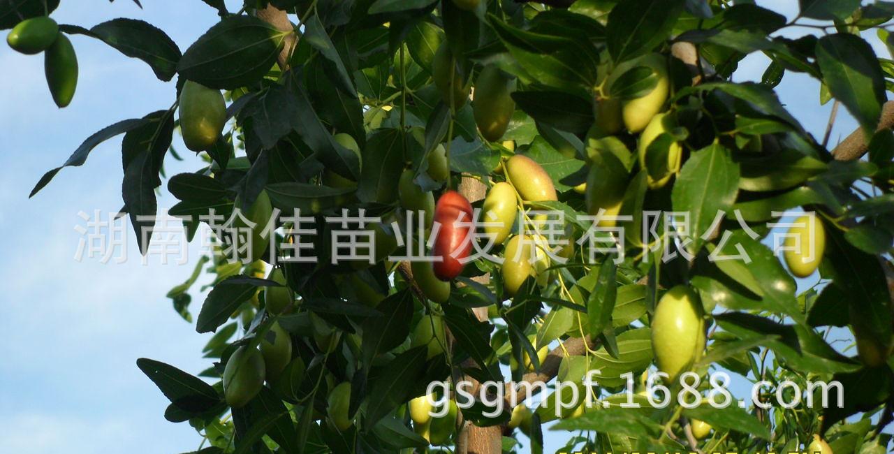 果树苗木 嫁接早熟枣树苗 红枣树苗 又称北京【马牙枣
