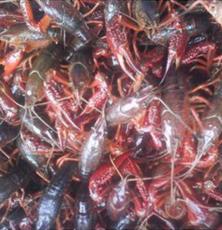 大量巢湖肉质饱满小龙虾、青虾、红虾供应