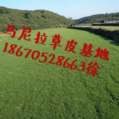 贵州遵义马尼拉草坪报价-贵州马尼拉草皮供应