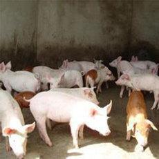 宇航牲猪养殖专业合作社供应猪苗