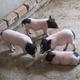 纯种巴马香猪  生态养殖   迷你可爱小香猪