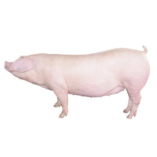 供应 活猪 生猪