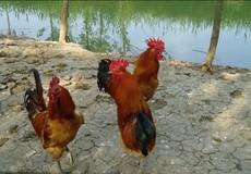 优质土鸡苗厂家批发,全国包发优质土鸡苗价格实惠