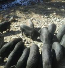 有机猪肉,藏香猪,黒毛猪.荣昌猪,商品猪,小猪 黑猪,生态猪,荣昌猪