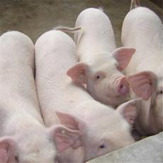 供应 母猪 自产猪大母猪  家养猪