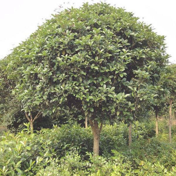桂花 庭院绿化苗木桂花 精品高杆桂花树 产地直销