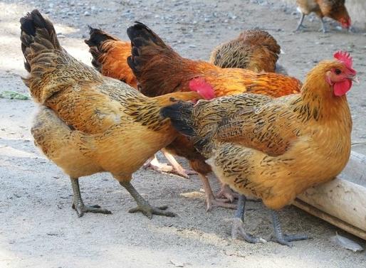你知道纯土鸡、仿土鸡、饲料鸡的区别吗?