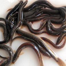 供应  大量批发泥鳅纯种泥鳅苗 品质保证 价格低廉