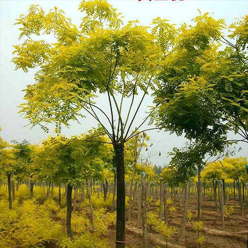 大量供应3-15公分的金枝槐 鄢陵永博花卉苗圃园长期供应各种绿化用树 品种多 规格全