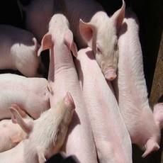 供应 农家自养 生态猪  生猪 优质品种