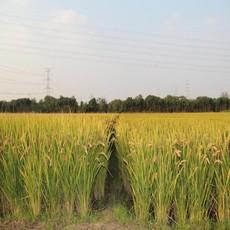 供应 有机水稻 绿色无公害大米