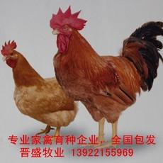 大红公鸡苗养殖技术,大红公鸡苗批发商现场培训