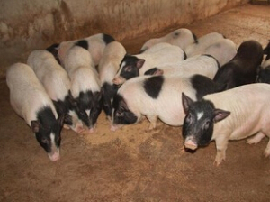 小香猪养殖场