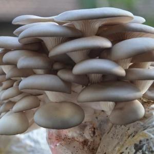 【绵阳市游仙区胜源食用菌种植场】平菇菌种 菌棒 菌筒