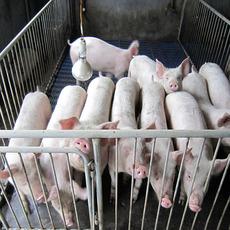 农场供应公猪长白猪 量大从优