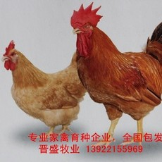 红毛鸡苗养殖技术,红毛鸡苗批发商现场培训