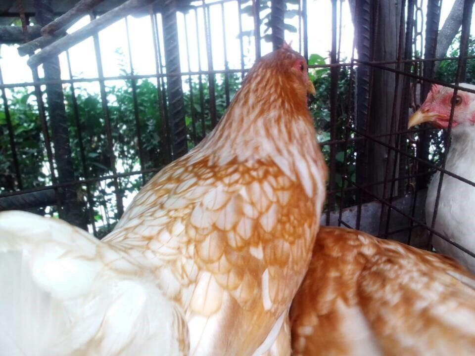 青年鸡养殖场