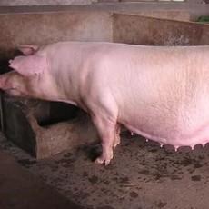 庆城县健安养殖  纯种母猪