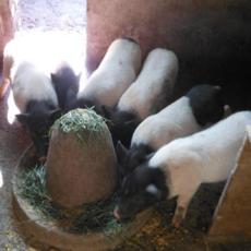 香猪养殖 巴马香猪 猪苗 种猪