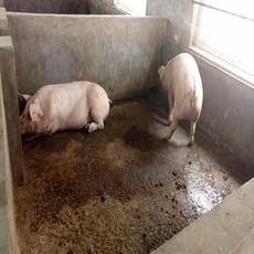 供应恒宇旺长白猪