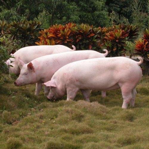 哲信养殖专业合作社 供应优质三元猪种猪