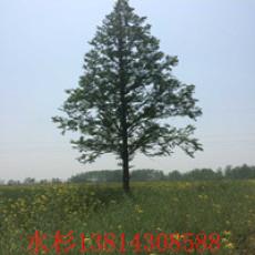 10公分水杉树价格  13公分水杉树苗