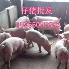 供应山东三元仔猪