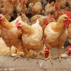 广西三黄鸡苗厂家批发,全国包发广西三黄鸡苗价格实惠