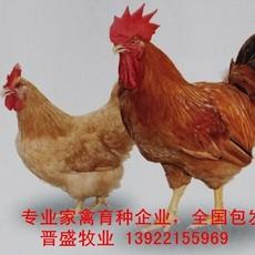 广西鸡苗出售,国内专业广西鸡种批发,广东广西鸡苗价格