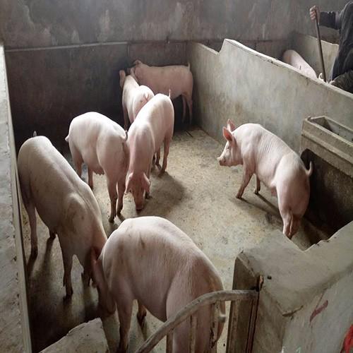 旺发养殖常年专供优质生猪