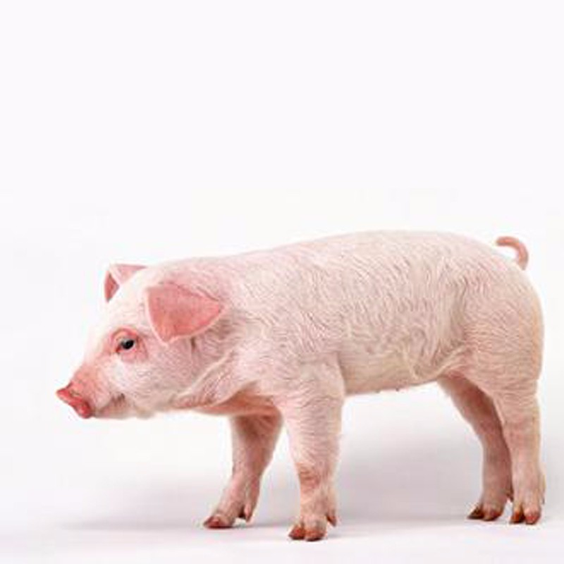 供应生猪 优质猪厂家直供