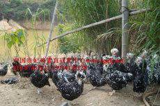 重庆最大的贵妃鸡养殖场,重庆贵妃鸡价格,重庆贵妃鸡批发