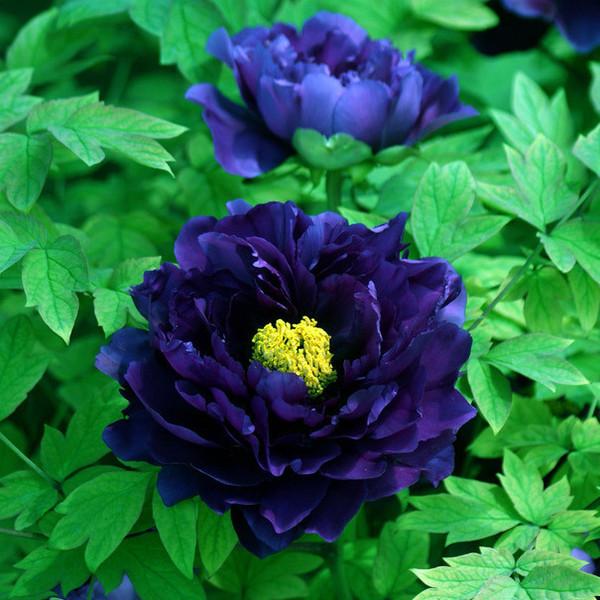 玫瑰花苗四季開花大花綠植物花卉盆栽室內外陽臺觀花薔薇月季牡丹圖片
