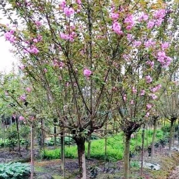 批发销售 樱花树 家中观赏 道路绿化