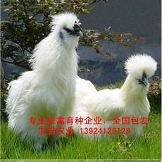 广东武山鸡苗厂家,诚招武山鸡苗销售代理