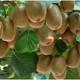 陕西·富斌徐香猕猴桃 新鲜水果 绿果大果绿心奇异果10斤包邮