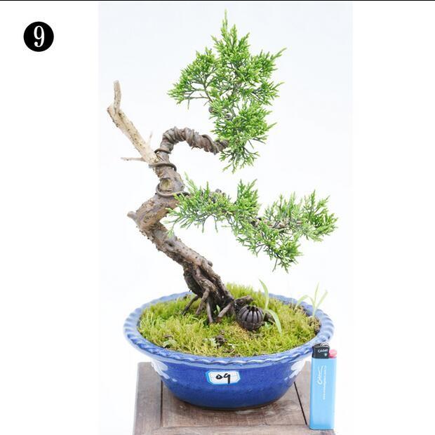 上林苑 小品盆栽精品 日本盆景 杜鹃盆景西洋鹃杜鹃树桩