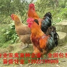 土鸡苗出售,国内专业土鸡种批发,广东土鸡苗价格