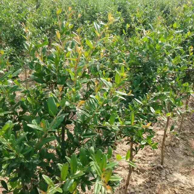 万千榴业正宗河阴软籽石榴树苗 现挖现买 成活率高 抗病性强 两年苗