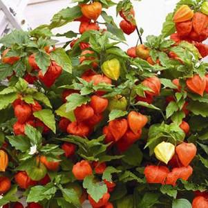 特色水果红灯果种子批发供应