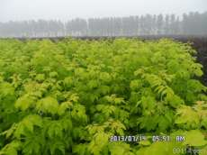 大量出售金叶复叶槭种苗种条诚信苗圃出售金叶复叶槭