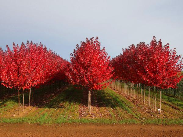 美国红枫 美国红枫苗 街道风景树 盆栽地栽小苗 8 10