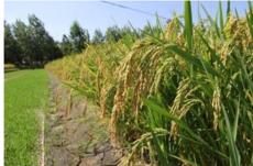 大米有机稻米沙地杂粮2.5kg