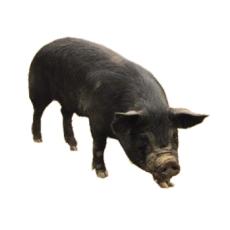 供应 黑猪 断乳小黑猪 生长育肥黑猪